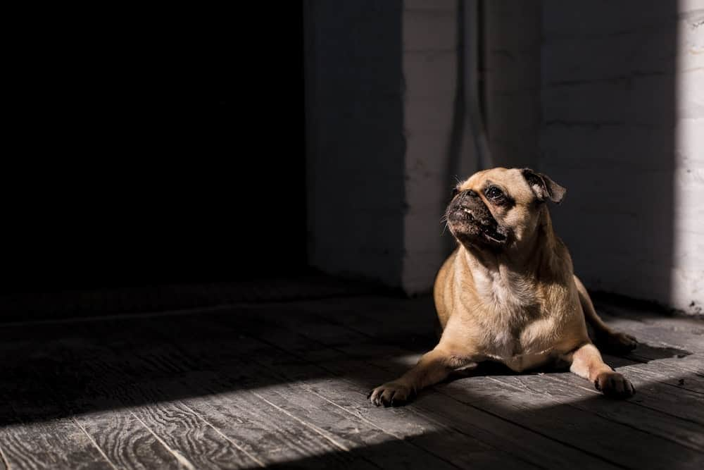 Any pug owner will tell you that pugs are special. There's nothing quite like the pug life! Read on to learn 20 things that only pug owners would know.