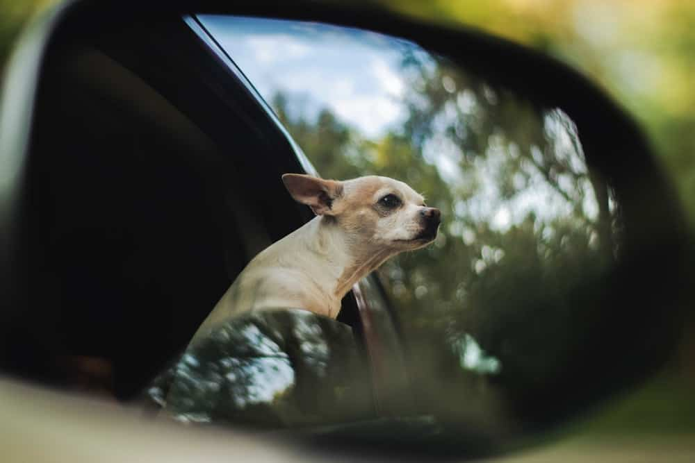 If you travel with your pet, chances are you'll have to rent a car at some point. Here are rental company pet policies, and tips for traveling with a dog.