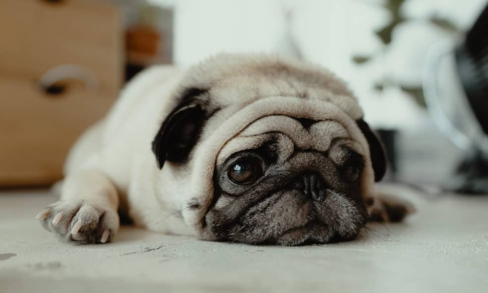 If you're new to the pug life, then you might be surprised to learn that pugs shed an insane amount. Here are tips to help manage pug shedding.