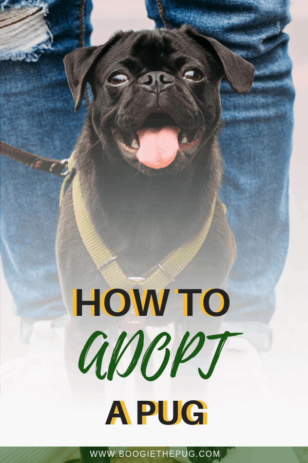Volunteering for rescues made me privy to the world of pug adoption. Here are some tips on how to navigate the experience and adopt your own pug.