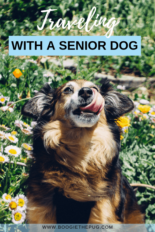Think senior dogs can't travel? Think again. Learn how Babu the senior dog continues to travel and live the good life at the age of 16!