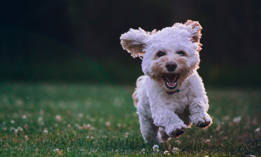 A white dog running on grass.