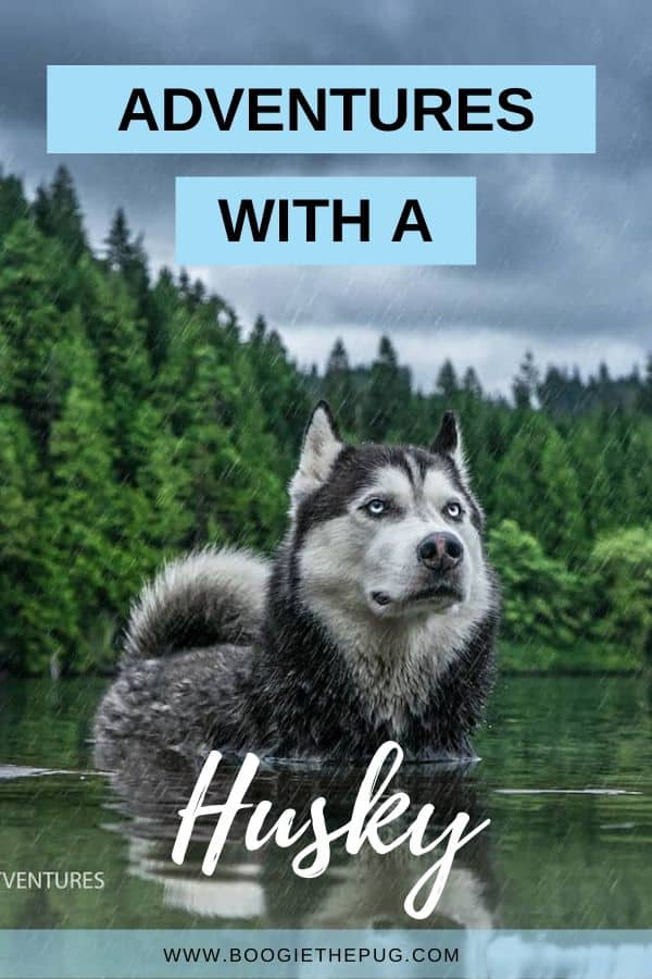 Tron the Husky has explored three continents, with no plans of stopping. Here's how this Husky travels the world with his owner.