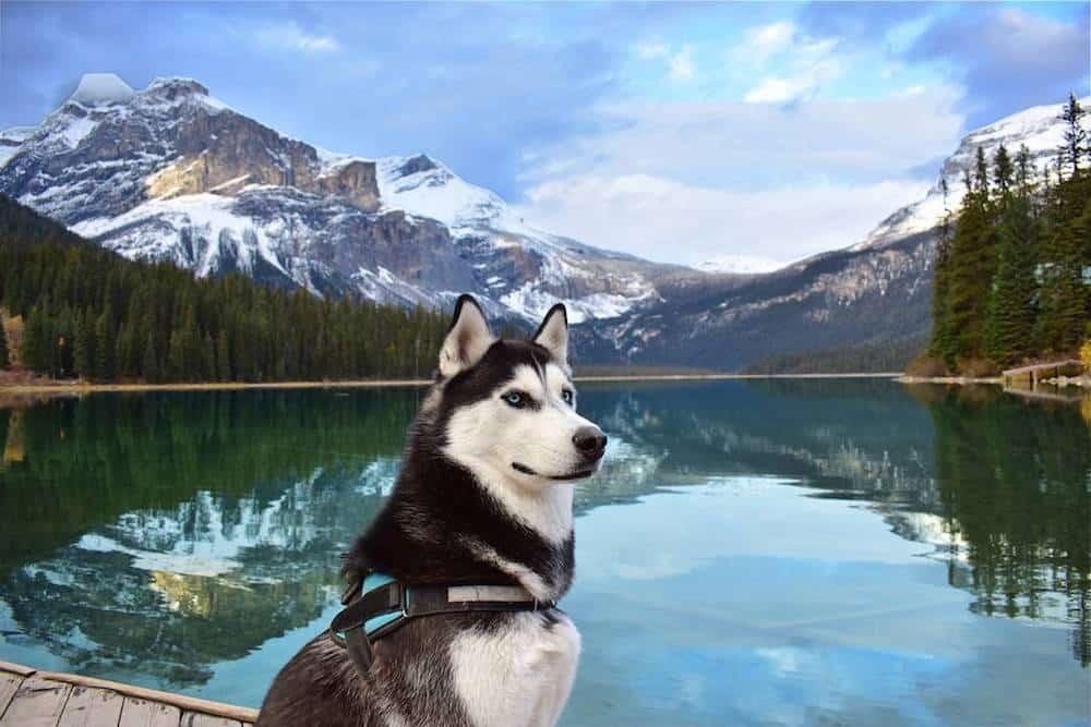 A Husky sits by a lake.
