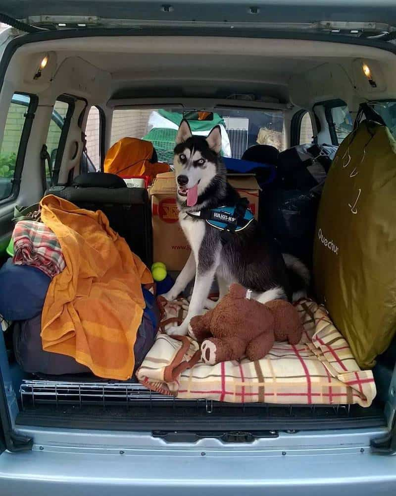 A Husky ready to travel in the trunk of a car.
