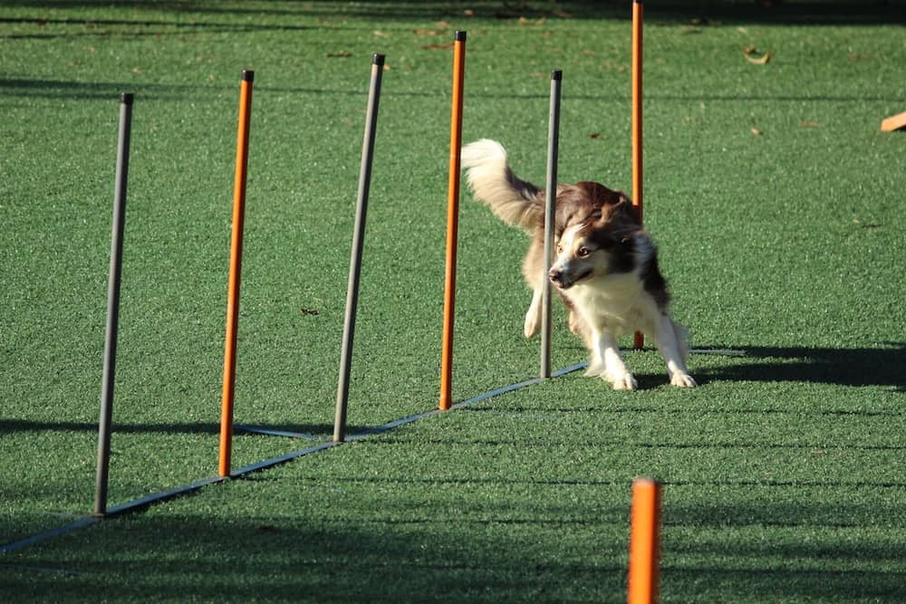 Dog agility classes are a great way to expel energy and bond with your dogCheck out New York City's best agility training courses.