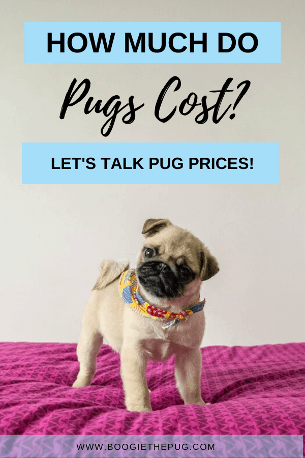 Want to add a pug to your family? Let's talk all about pug prices. Here's how much a pug will cost you. Welcome to the pug club!