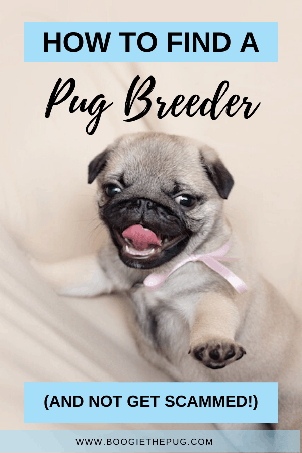 Here's a guide to finding a breeder and knowing what to ask them, and how to avoid puppy scams - they're more common than you think!