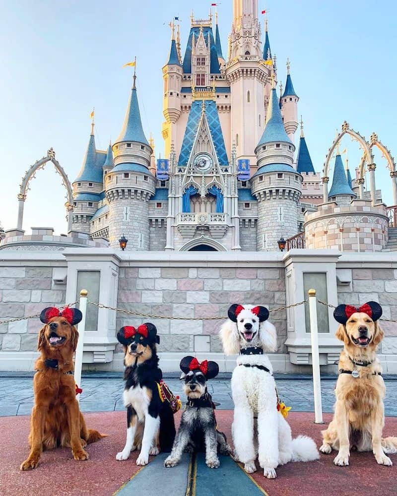 Service dogs at Disney World.