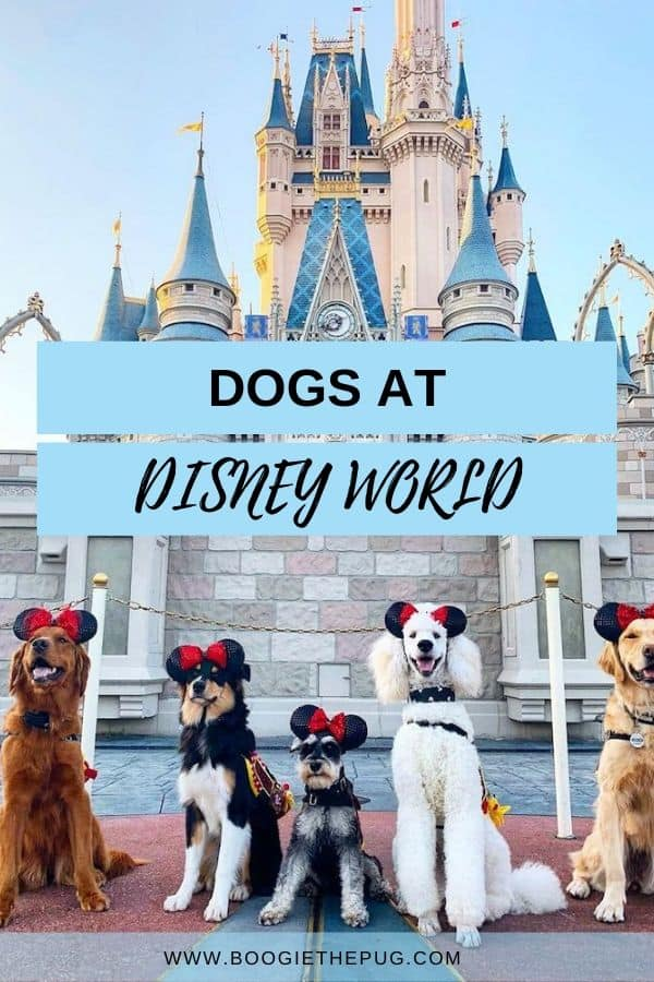Thinking of visiting Disney World with a dog? Well, it's possible! A Disney fan and employee shares the low down on Disney with dogs.