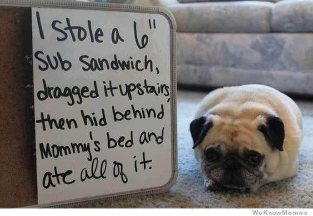 Pug Shaming