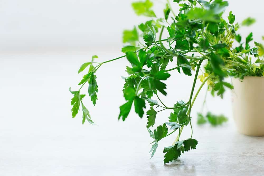A Parsley plant.