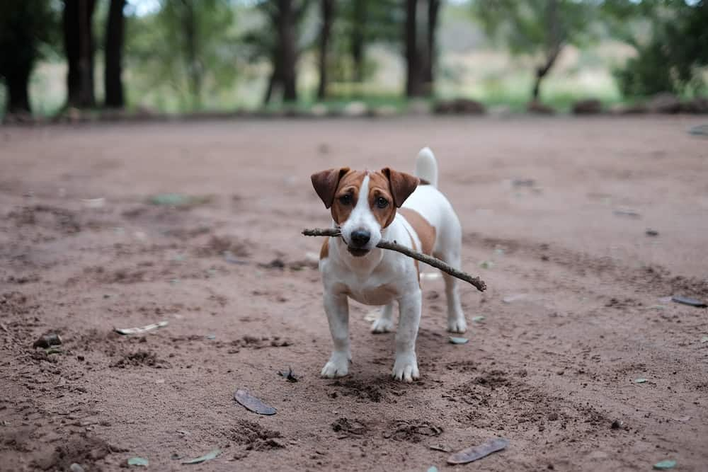 A dog with a stick in its mouth.