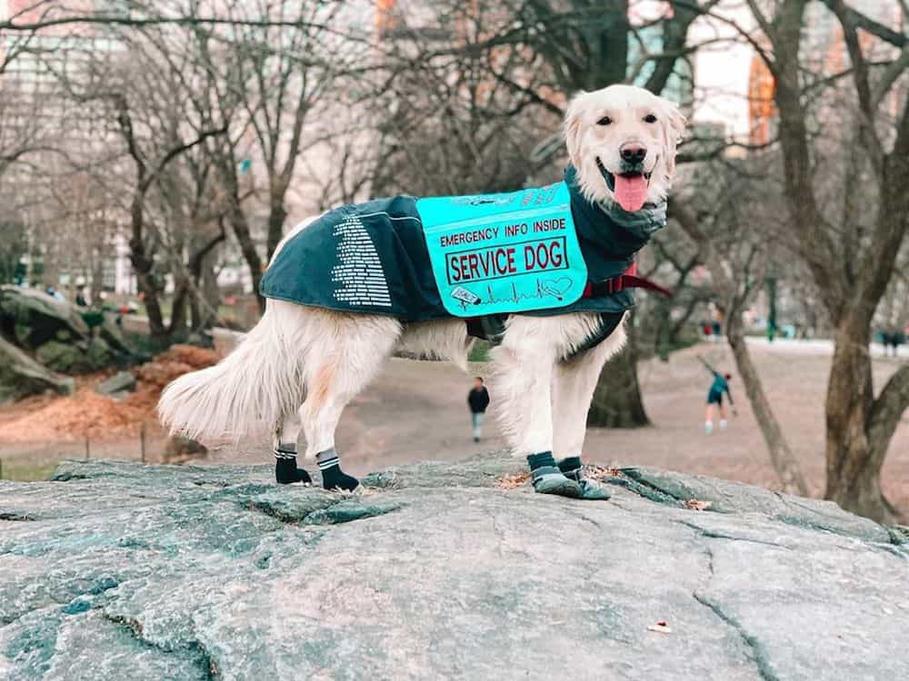 A service dog in Central Park.