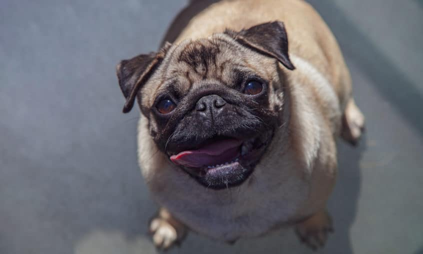 Pugs provide the necessary inspiration for pug memes to go viral. Take a look at the best pug memes on the Internet! Which is your favorite?